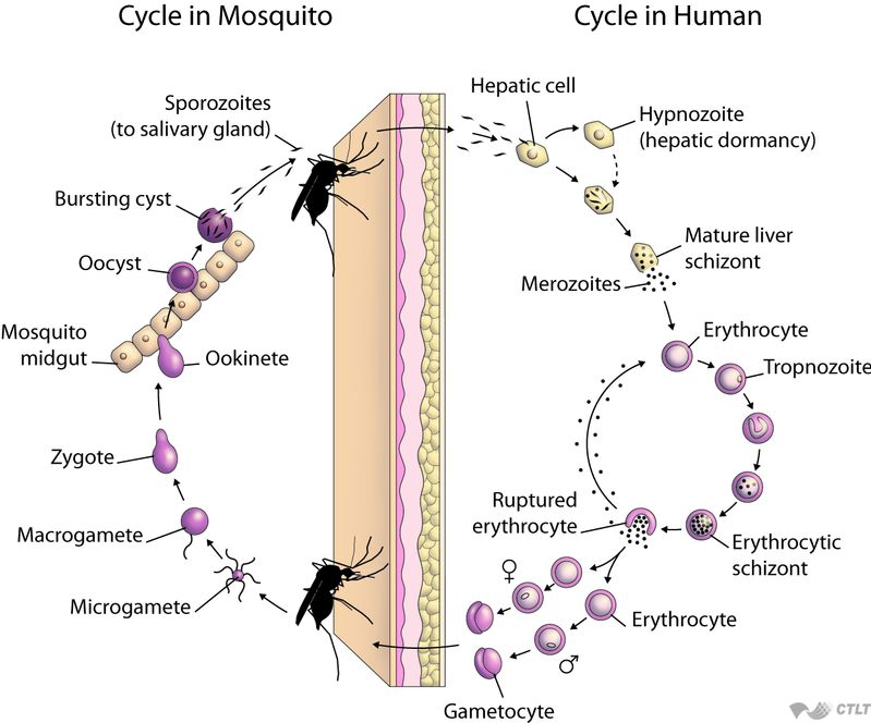 Asexual life cycle of plasmodium species slide